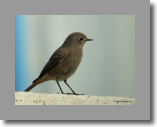 Black Redstart. Rougequeue noir