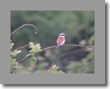 Red-B. Shrike.Pie-grieche ecorcheur