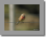 Linnet. Linotte melodiouse