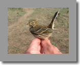 Meadow Pipit. Pipit farlouse