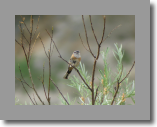 Rock Bunting. Bruant fou
