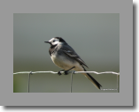 White Wagtail. Bergeronnette gris