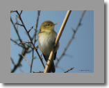 Willow Warbler. Pouillot fitis